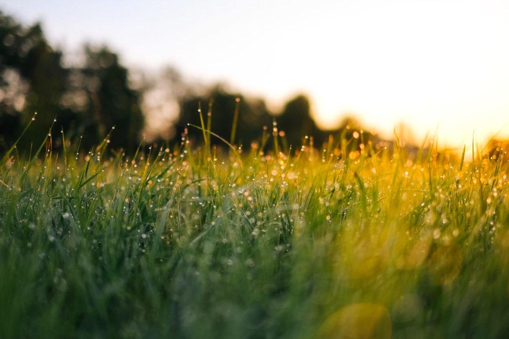 Dew on grassy field